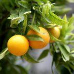Výstava citrusů a jiných subtropických a tropických užitkových rostlin v Brně